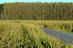 Champs de maïs Image stock