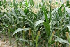 Champs de maïs Photos libres de droits