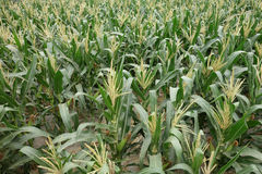 Champs de maïs Images stock
