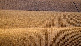 Champs de maïs Photo libre de droits
