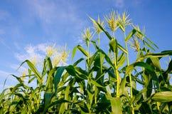Champs de maïs avec le ciel bleu Photo libre de droits