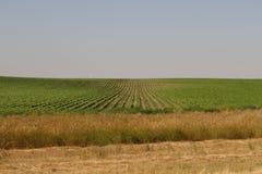 Champs de maïs du Nébraska Image libre de droits