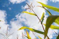 Champs de maïs en automne Image stock