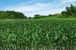 Champs de maïs sur le quatrième de juillet photographie stock libre de droits