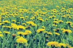 Champs de pissenlit jaune Tir cultivé de pré de floraison photographie stock libre de droits