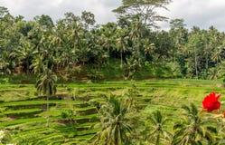Champs de rizière d'Ubud Photos stock