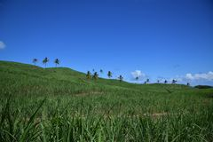 Champs de Sugar Cane et arbres de noix de coco Image stock
