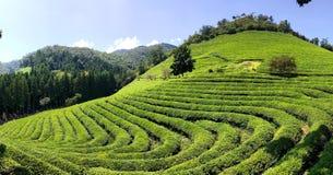 Champs de thé Image libre de droits