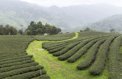 Champs de thé en Mae Salong Chiang Rai, Thaïlande photos libres de droits