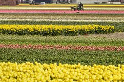 Champs de tulipe avec l'activité agricole photographie stock