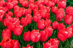 Champs de tulipe dans le printemps Photographie stock libre de droits
