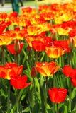 Champs de tulipe de la Hollande Photographie stock libre de droits