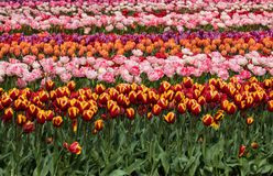 Champs de tulipe du Bollenstreek, la Hollande-Méridionale Photos stock