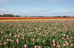 Champs de tulipes du Bollenstreek, la Hollande-Méridionale Photo libre de droits
