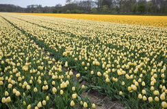 Champs de tulipes du Bollenstreek, la Hollande-Méridionale, Pays-Bas Image stock