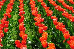 Champs de tulipes pendant le printemps Photographie stock