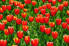 Champs de tulipes pendant le printemps Images stock