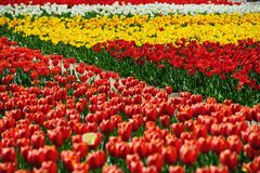 Champs de tulipes pendant le printemps Images libres de droits