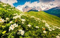 Champs des fleurs blanches de floraison dans les montagnes de Caucase photos libres de droits
