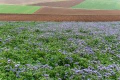 Champs des fleurs de phacelia et des champs et des acres pourpres et verts de ferme en automne en retard dans les collines de la  photographie stock
