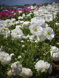 Champs des fleurs, la Californie du sud Images stock