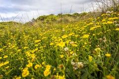 Champs des fleurs pendant le printemps le long de la côte de Victoria Australia Great Ocean Road et océans et falaise de mer d'en images stock