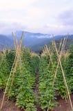 Champs des haricots blancs dans Prespes, Grèce Images stock