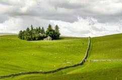 Champs des moutons sur la bruyère Photo stock