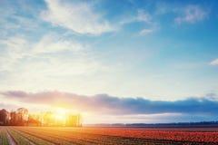 Champs des tulipes rouges de floraison au coucher du soleil Beauté Pays-Bas, EUR Photos libres de droits