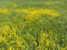 Champs et prés, fleurs jaunes, beauté naturelle, tapis des fleurs, champ jaune, beau pâturage Photo stock