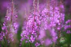 Champs fleurissants, saule-herbe Image libre de droits