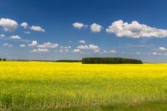 Champs jaunes au Belarus photo libre de droits