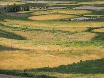 Champs jaunes d'ovales du blé mûr parmi l'herbe verte Photographie stock libre de droits