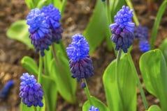 Champs pourpres bleus Keukenhoff Lisse Pays-Bas de jacinthes de raisin images libres de droits