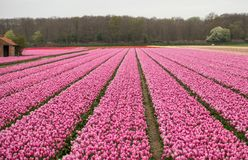 Champs roses de tulipes du Bollenstreek, la Hollande-Méridionale, Photo libre de droits