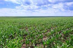 Champs verts de maïs Ciel bleu avec des cumulus Été magique photographie stock