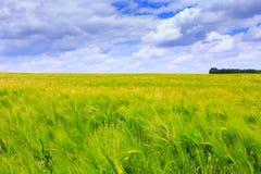 Champs verts de seigle Ciel bleu avec des cumulus Été magique images libres de droits
