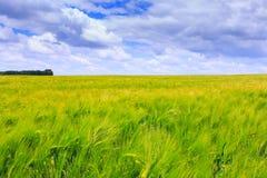 Champs verts de seigle Ciel bleu avec des cumulus Été magique photos libres de droits