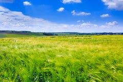 Champs verts de seigle Ciel bleu avec des cumulus Été magique image libre de droits