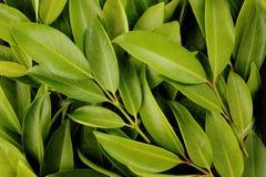 Chamuang leaves (Garcinia Cowa Roxb.) background royalty free stock image