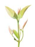 Chamuang leaves (Garcinia Cowa Roxb.), royalty free stock image