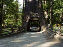Chandler Tree in California Redwood Forest. Near Gaborville, CA Royalty Free Stock Images