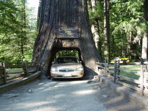 Chandler Tree i skog för Kalifornien redwoodträd Arkivfoto