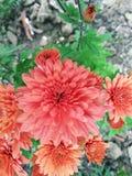 Chandra Mallika Flower. In home garden stock image