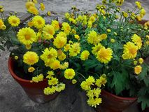 Chandramallika цветка Стоковые Изображения