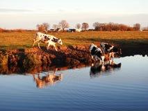Chanel, träd, gräs, ko och molnig himmel, Litauen fotografering för bildbyråer