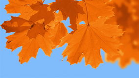 Change the Color of the Leaves. Clear blue sky. Maple leaves close-up change color from green to red stock video