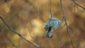 Change of focus autumn tree branches with hanging stock video