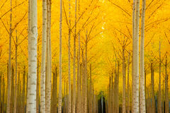 Change Of Season Saturated Yellow Tree Leaves Royalty Free Stock Image