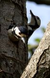 Change Over At The Great Spotted Woodpecker Nest royalty free stock photos